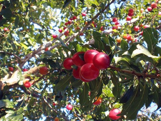 Алыча — плодоношение