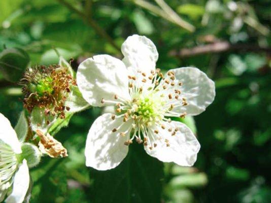 Цветение малины