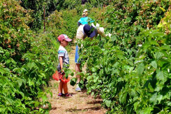 Посадки малины