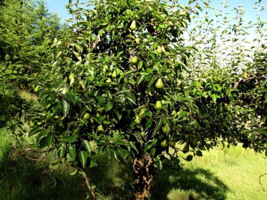 Дерево груши Ноябрьская с плодами