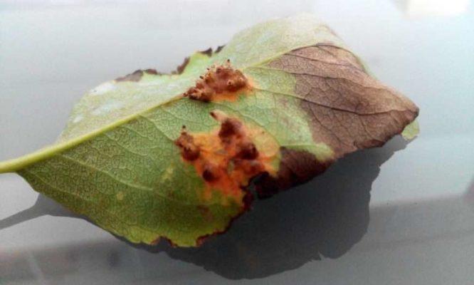 Ржавчина на листе груши