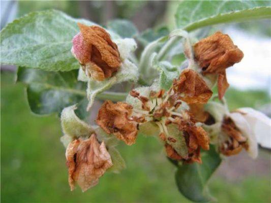 Цветы груши, поражённые цветоедом
