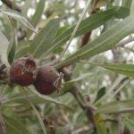Плоды иволистной груши