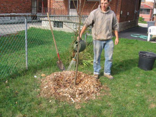 Полив молодого дерева