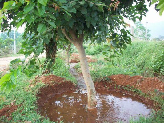 Полив взрослого дерева