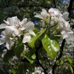 Груша уссурийская в цвету