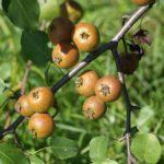Плоды уссурийской груши