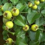 Плоды лесной груши