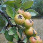 Плоды лохолистной груши