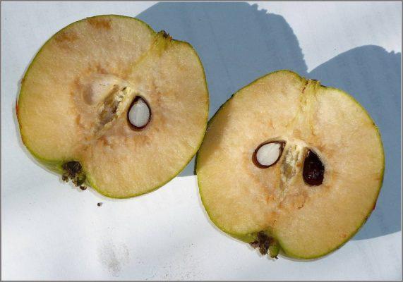 Дикая груша в разрезе