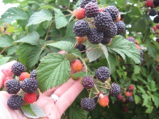 Спелые ягоды Кумберленд