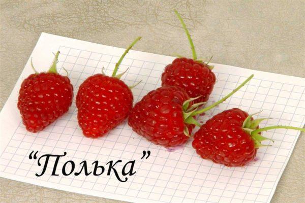 Крупные ягоды Польки