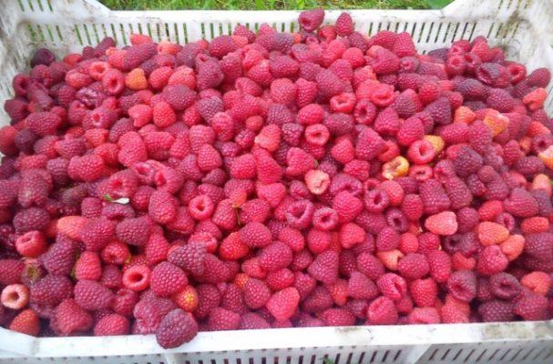 Обилие ягод