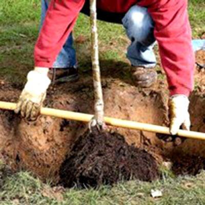 Саженец груши, опущенный в посадочную яму
