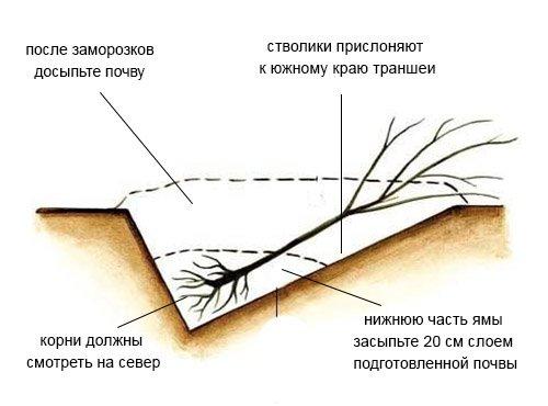 Схема прикопа саженца груши на зиму