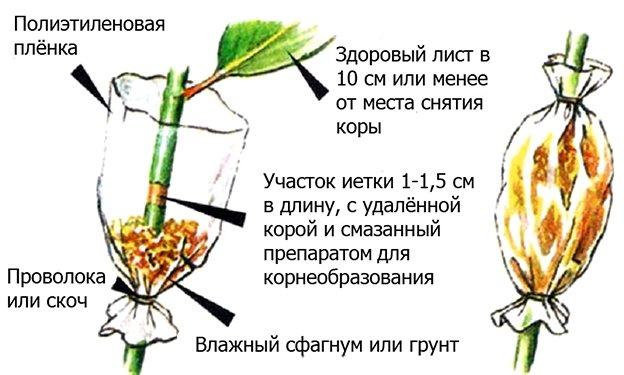 Схема размножения груши воздушными отводками
