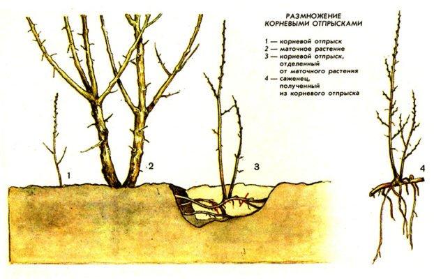 Схема размножения сортовой груши корневой порослью