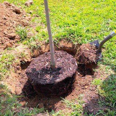 Как выкопать грушу в возрасте 3 - 5 лет