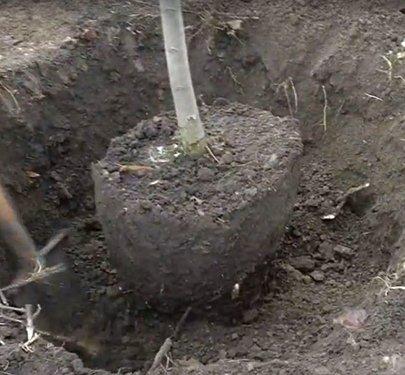 Земляной ком с корнями пересаживаемой груши