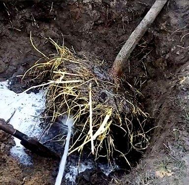 Корни груши размывают грунт водой из шланга