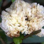 Flore Pleno Alba