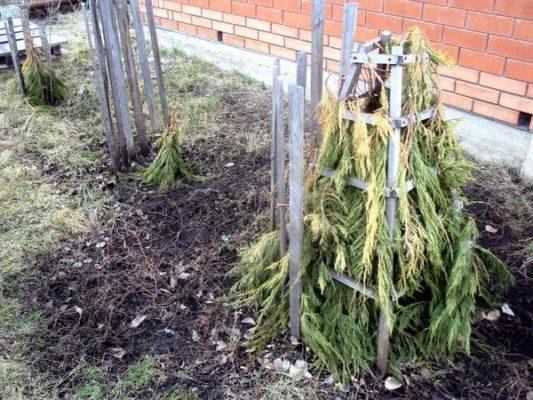 Укрытие дерева хвойным лапником