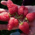 Идеальные ягоды Красы России