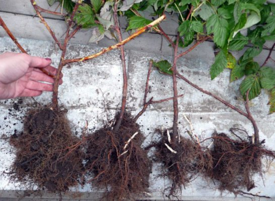 Саженцы малины с открытой корневой системой