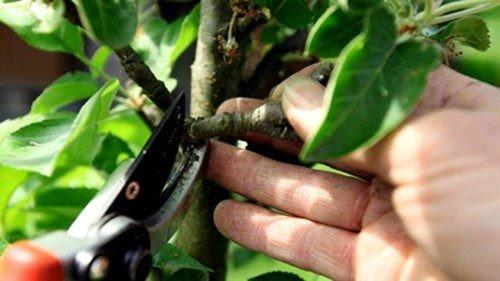 Прореживание ветвей груши