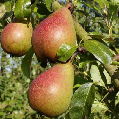 Плоды Любимицы Клаппа