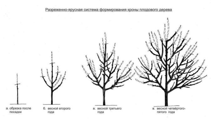 Схема формировки кроны
