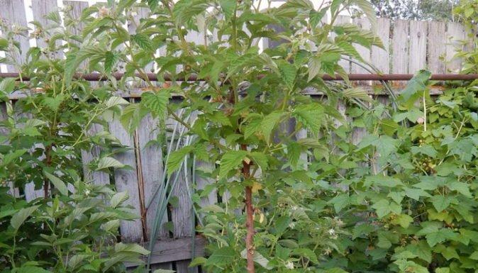 У малины Глен Ампл толстые стебли