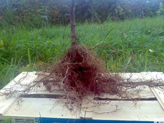 Корневая система саженца малины Херитейдж