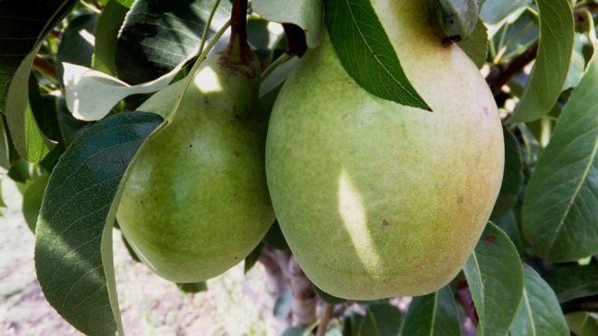 Плоды груши Мария