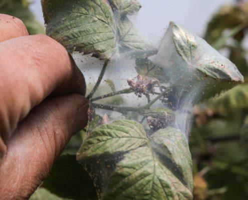Листья малины, поражённые паутинным клещом