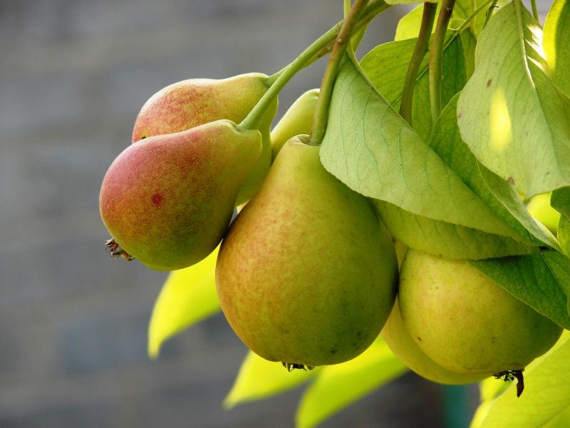 Чем подкормить грушу осенью чтобы был хороший урожай