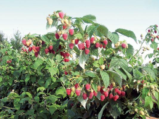 Урожайный куст малины