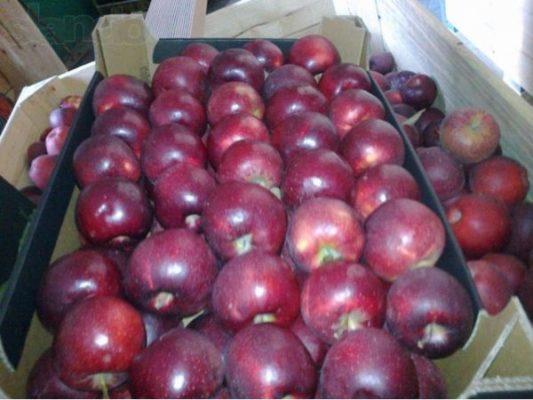Урожай яблок Чёрный принц