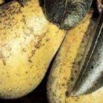 Сажистый грибок на груше