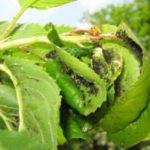 Листья груши, поражённые тлёй