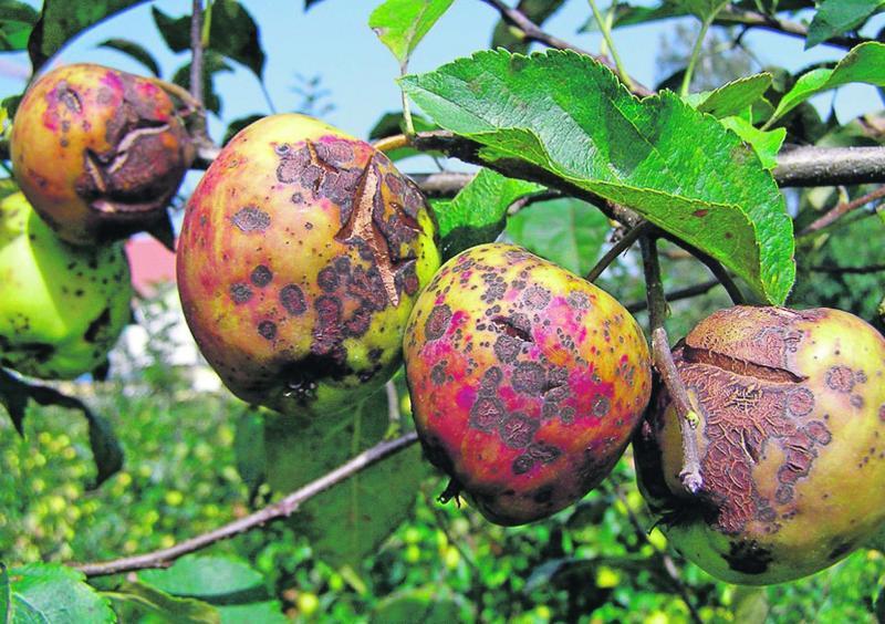 Плесень на яблоне как избавиться причины и методы лечения с фото