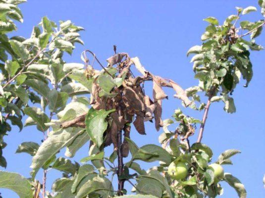 Ветка яблони, поражённая монилиозом