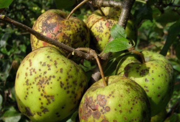 Поражённые паршой яблоки