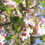 Яблоня домашняя розовая