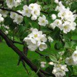 Яблоня домашняя белая