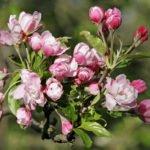 Яблоня махровая