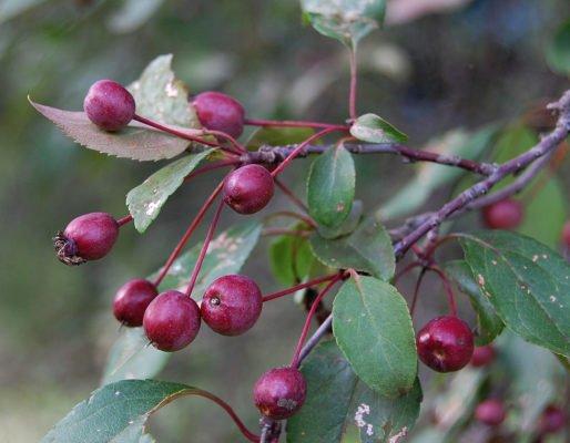 Плоды декоративной яблони