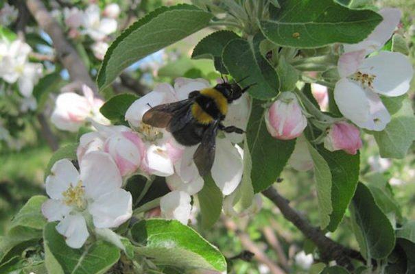 Шмель на яблоне