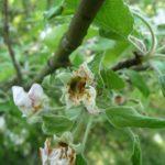 Личинка цветоеда в цветке яблони