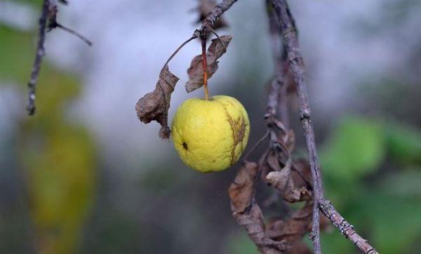 Бактериоз яблони